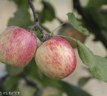 Przepisy na przetwory: powidła z jabłek
