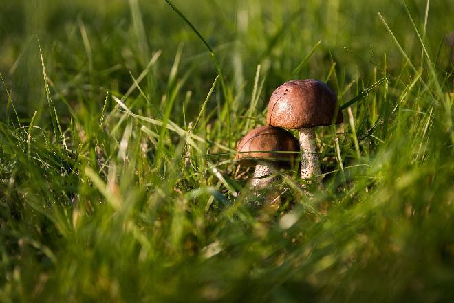 Grzyby jadalne, grzyby trujące - jak je odróżnić